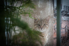 Cat Looking Out the Window at the Rain.  Royalty Free Stock Photography
