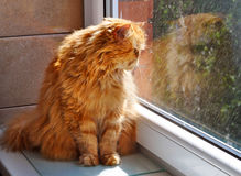 Cat looking out the window on the rain. Stock Images
