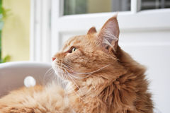 Cat looking outside Royalty Free Stock Images