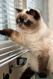 Cat looking outside through window blinds Royalty Free Stock Images