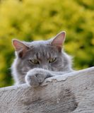 Cat looking over a wall Stock Photography