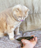 Cat is looking into the phone Royalty Free Stock Photo