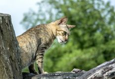 Cat looking for prey. Small cat hunters House pets Hunt rodents and small animals in the house Stock Photo