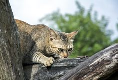 Cat looking for prey. Small cat hunters House pets Hunt rodents and small animals in the house Stock Image