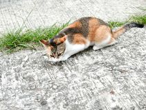 Cat looking for prey. Three colored Cat Calico cat back was alert and looking for prey with ears uphold and staring eyes Stock Photography
