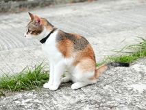 Cat looking for prey. Three colored Cat Calico cat was alert and looking for prey with ears uphold and staring eyes Stock Photo