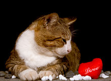 Cat looking at red heart shaped love with black background. Picture of Cat looking at red heart shaped love with black background Stock Photo
