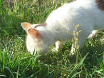 Cat 8. A cat that is looking for something in the grass Stock Image
