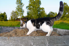 Cat looking for something. In the hay in the garden Stock Images