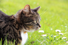 A cat looking at something. A cat lying in the grass and looking at something Stock Images