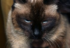 Cat with a disgruntled face Stock Images