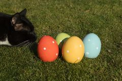 Cat looking to colorful ceramic easter eggs which are standing in the grass. Nosy black cat looking to four colorful ceramic easter eggs which are standing in royalty free stock photo