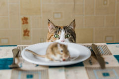 Cat looking to little gerbil mouse on the table before attack. Concept of prey, food, pest, danger, hunting. Stock Photo