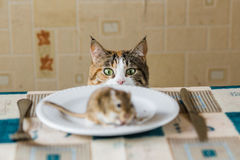 Cat looking to little gerbil mouse on the table before attack. Concept of prey, food, pest. Royalty Free Stock Photos