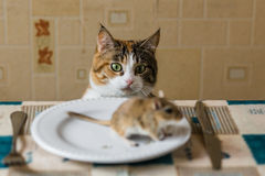 Cat looking to little gerbil mouse on the table. Concept of prey, food, pest. Stock Image