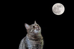 Cat looking to the Moon. Tiger cat looking to the full Moon Stock Photo