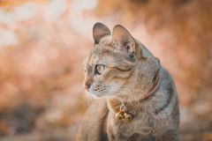 Cat looking to the right, brown tone image. Cat looking to the right, bokeh and back ground brown tone image royalty free stock photography