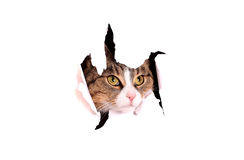 Cat looking trough paper breakthrough. On white royalty free stock images