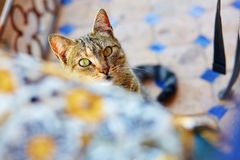 Cat looking from under the table Royalty Free Stock Image
