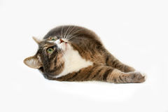 Cat Looking Up Royalty Free Stock Photo