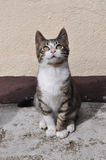 Cat looking up. Small gray cat sitting and looking up Royalty Free Stock Photography