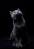 Cat looking up. Gray cat looking up on a black background lit from above Royalty Free Stock Images