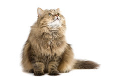 Cat looking up. Norwegian domestic cat looking up Royalty Free Stock Photography