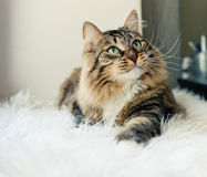 Cat looking up on bed. Grey cat looking up on bed Stock Photography