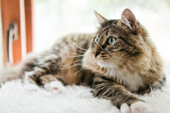 Cat looking up on bed Royalty Free Stock Images