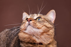 Cat looking up on brown background Royalty Free Stock Images