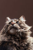 Cat looking up on brown studio background Stock Images