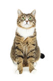 Cat looking up. Copy space. Isolated Royalty Free Stock Photos