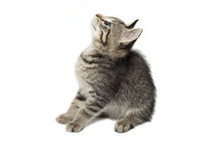 Cat looking up. Cute Cat looking up isolated on white background Royalty Free Stock Photos