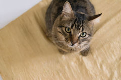 Cat looking up Royalty Free Stock Images
