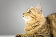 Cat looking up  in front of gray Stock Photography