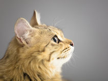 Cat looking up  in front of gray Royalty Free Stock Photo