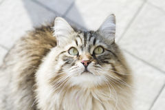 cat looking up, gorgeous brown tabby kitten of siberian breed Royalty Free Stock Photography