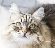 cat looking up, gorgeous brown tabby kitten of siberian breed Royalty Free Stock Photos