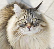 cat looking up, gorgeous brown tabby kitten of siberian breed Royalty Free Stock Images