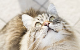 cat looking up, gorgeous brown tabby kitten of siberian breed Royalty Free Stock Photo