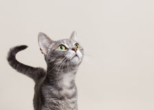 Cat looking up. Cat intently gazing up something above him Royalty Free Stock Image