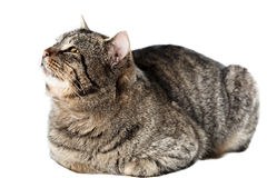 Cat looking up, isolated Royalty Free Stock Images