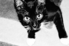 Cat looking up. A picture of a cat looking up, taken from above black and white Royalty Free Stock Images
