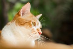 Cat looking up for something. Orange cat looking up something in green garden blurred background Royalty Free Stock Photography
