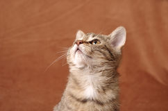 Cat looking up. Young tabby cat looking up studio shoot on a brown background Stock Images