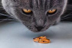Cat looking at wedding rings Royalty Free Stock Photography