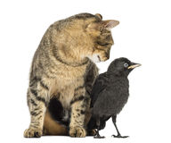 Cat looking at a Western Jackdaw, isolated Stock Photography