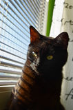 Cat looking through the window. Black cat looks through the blinds out of the window Royalty Free Stock Photos