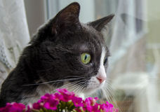 The cat looking at window. Grey cat with pink flower Stock Image