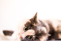 A cat is  looking at you. A cat is lying and looking at you Royalty Free Stock Photo
